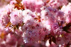 Mandelbäumchen in Blüte