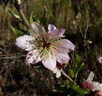 """Mandelblüte auf GC als """"Mittwochs-Plümchen"""" und Frühlingsgruß"""