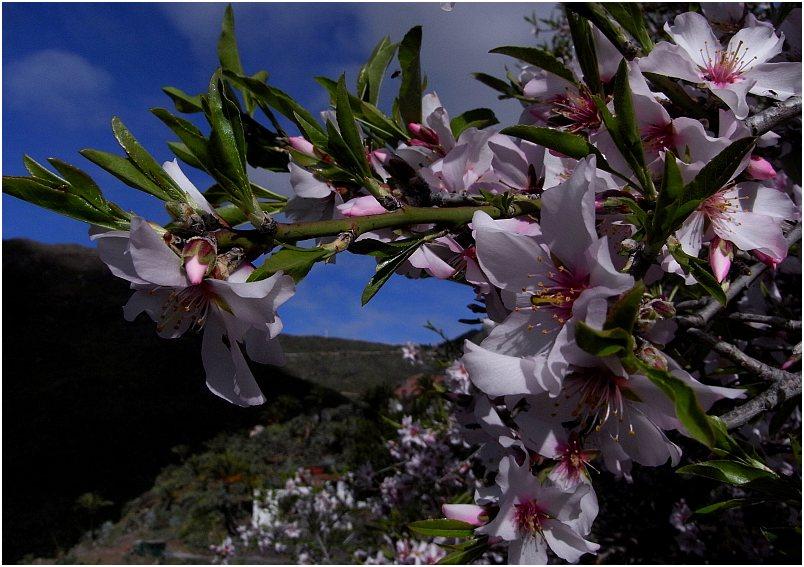 Mandelblüte auf Teneriffa