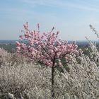 Mandelblüte (D)