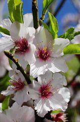 Mandelblüte im Januar auf den Kanarischen Inseln