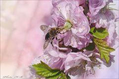 Mandelblüte mit Besucher
