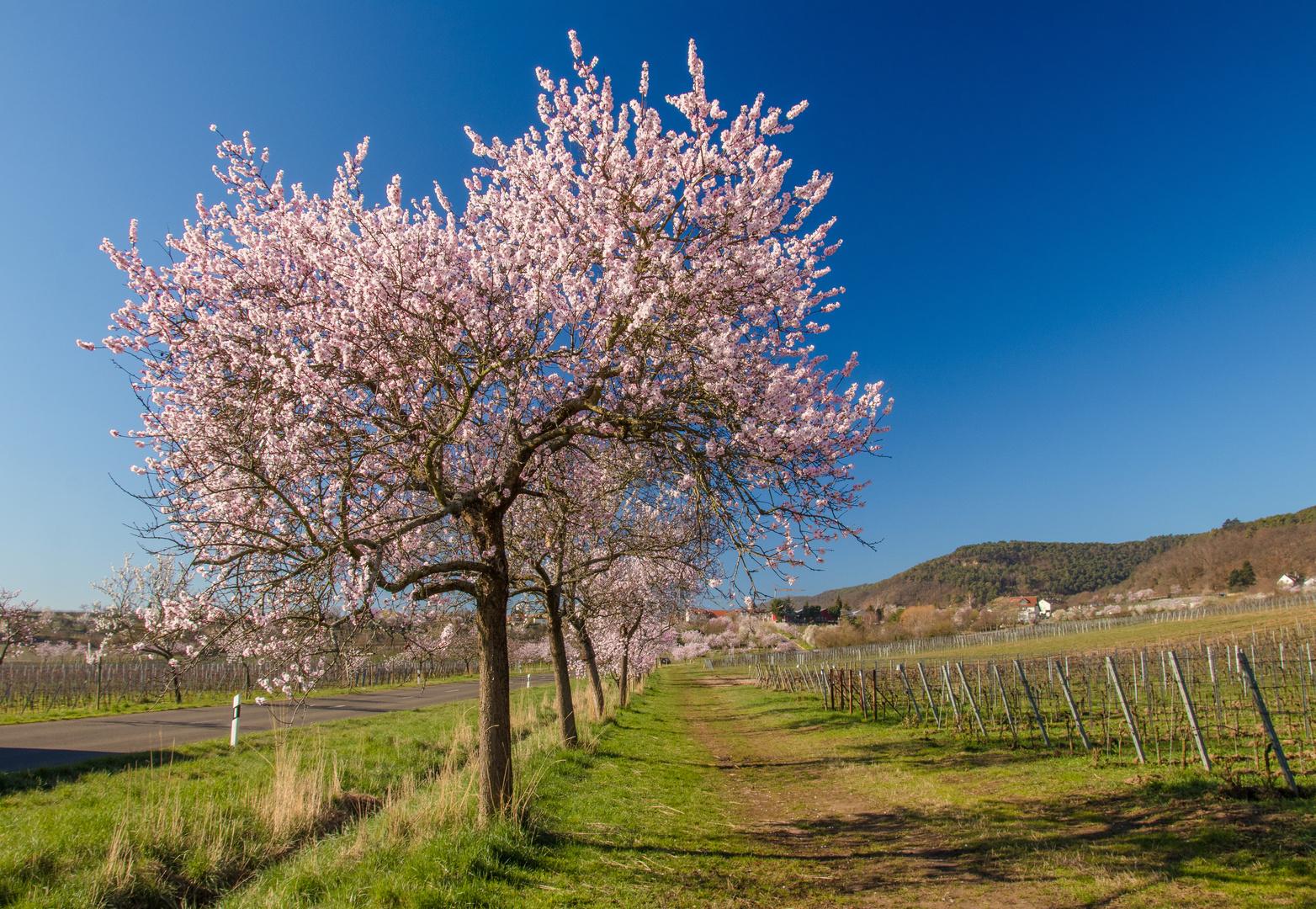 Mandelblüte satt
