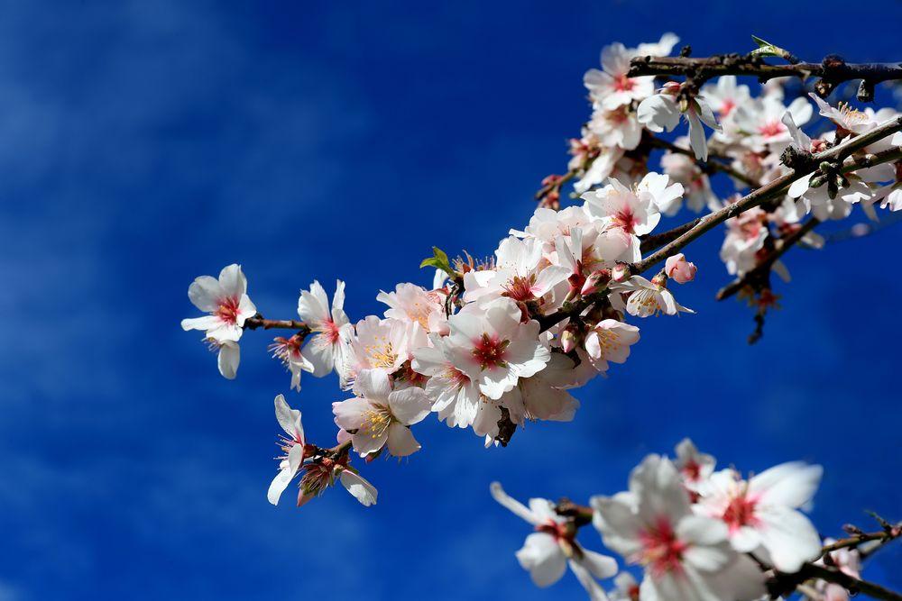 * Mandelblüten *