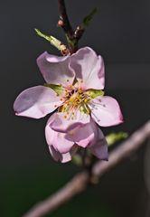 Mandelblüte(n)