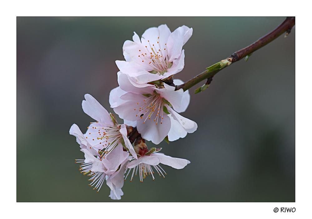 Mandelblüten aus der Pfalz..............