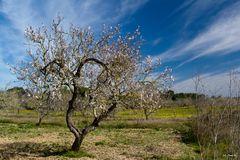 Mandelblüten Baum