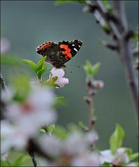 Mandelblüten-Bestäuber