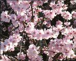 ... Mandelblüten ... Honigduft liegt in der Luft ...