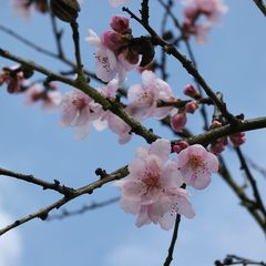 Mandelblüten im Februar