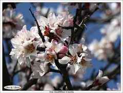 Mandelblüten machen ihren ersten Anlauf