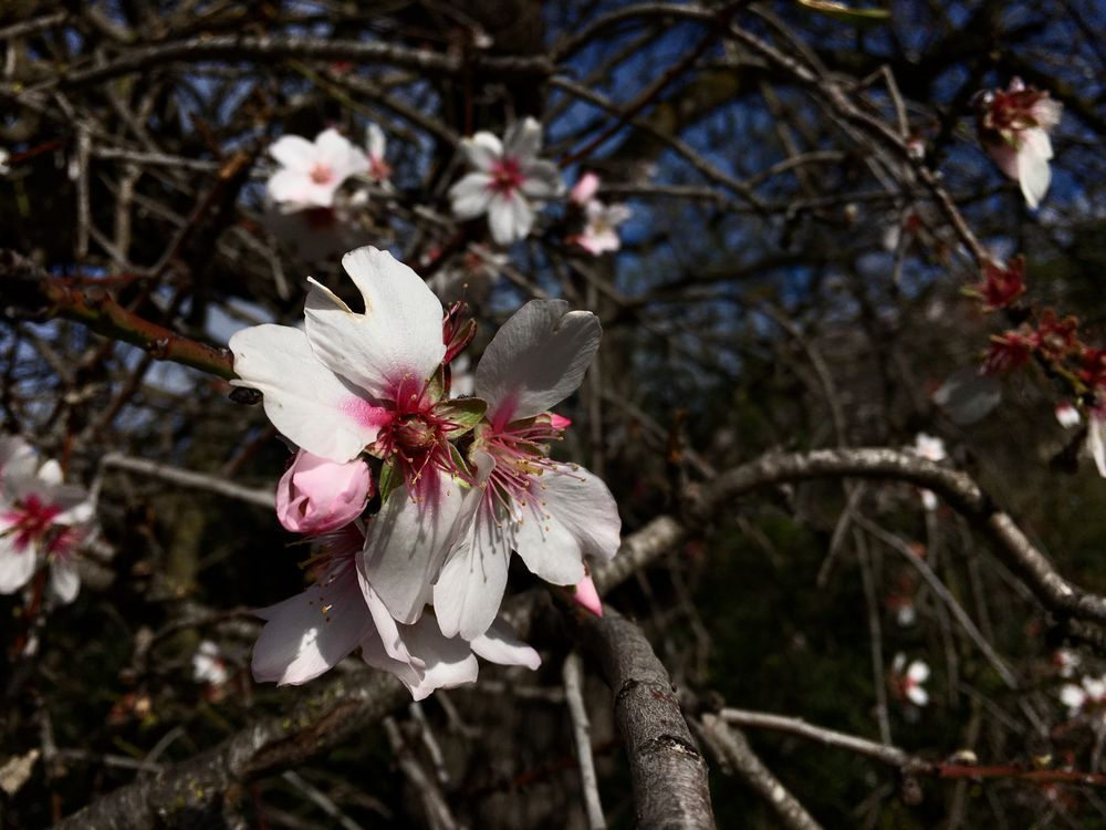 Mandelblüten Makro