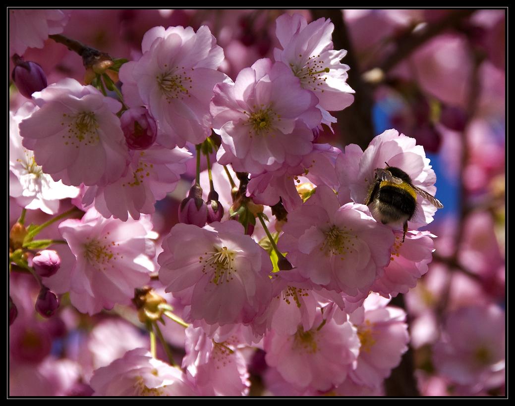Mandelblüten mit Besuch