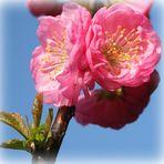 Mandelblütenträume...