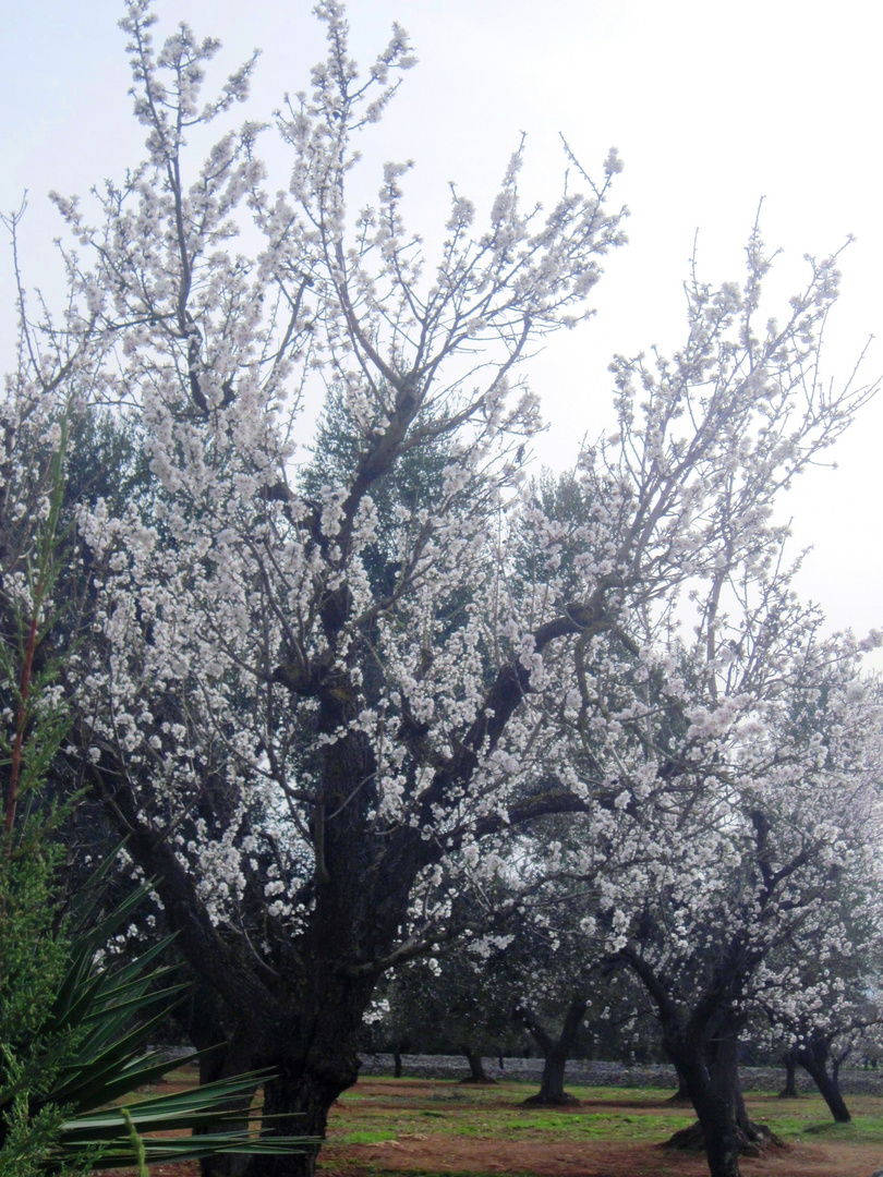 Mandorli in fiore / 2