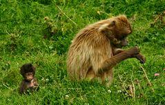Mandrille: Mutter mit Kind beim Graszupfen - ihrer Lieblingsbeschäftigung!