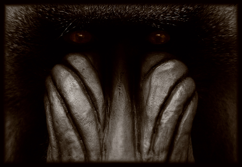 mandrillus sphinx