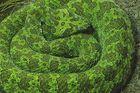 Mang-Viper (Zhaoermia mangshanensis) China