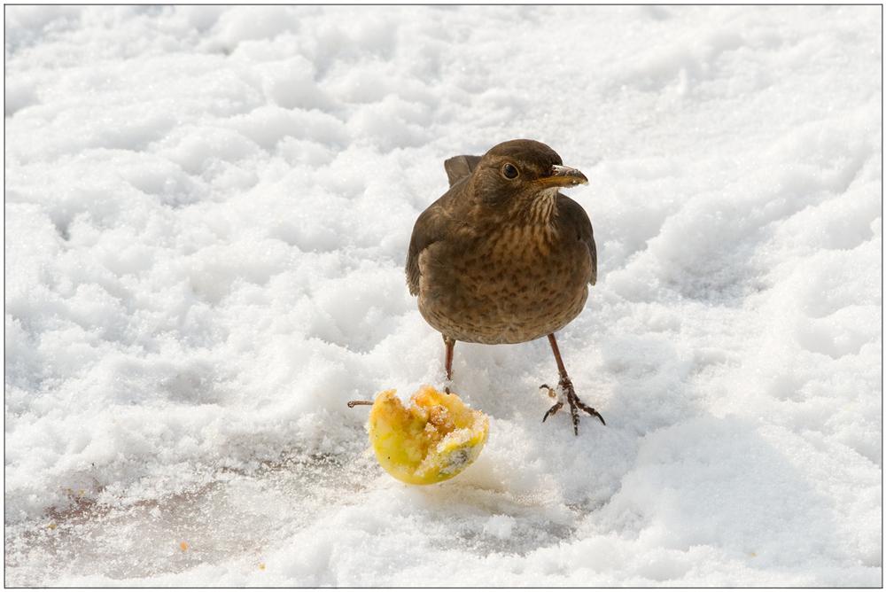 Manger des pommes (Merlette)