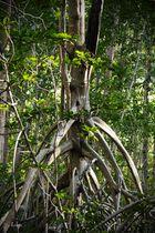 Mangle blanco ( Laguncularia racemosa )