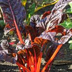 Mangold -orange-