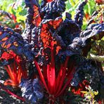 Mangold -rot-