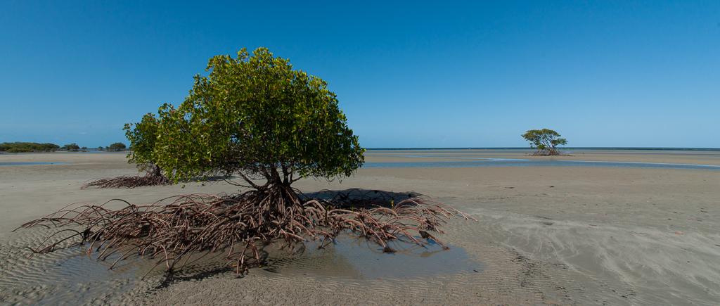 mangrove...