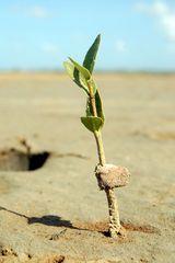 Mangrove Aruba und die Trockenheit