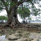 Mangrove in Borneo