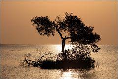 Mangroven im Morgenlicht