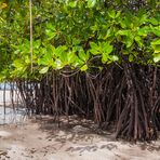 Mangrovenwald bei Ebbe