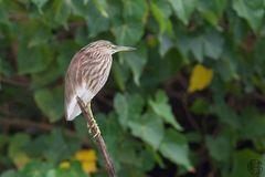 Mangrovereiher (Butorides striata)