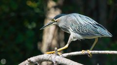 Mangrovereiher (Green-backed Heron, Butorides striatus)