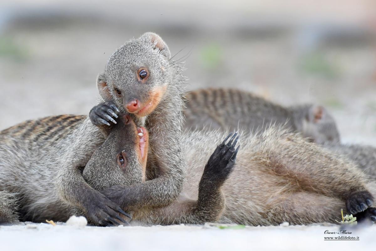 mangusta striata #namibia #oscarmura workshopfotografico https://www.wildlifefoto.it/