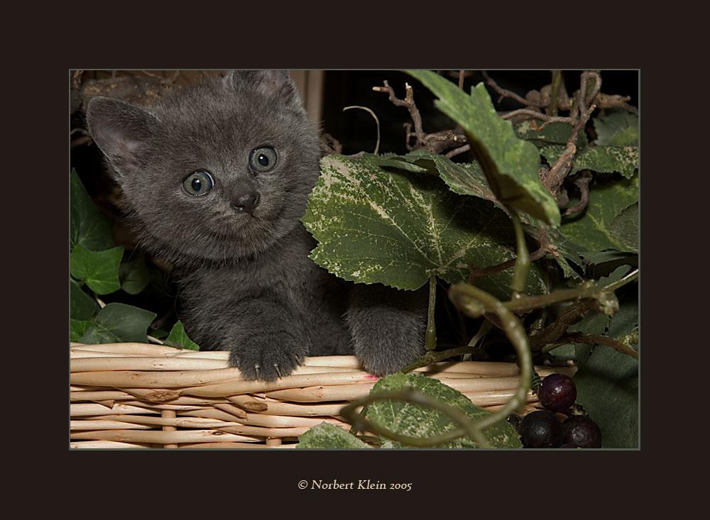Manis Katzenbabys I