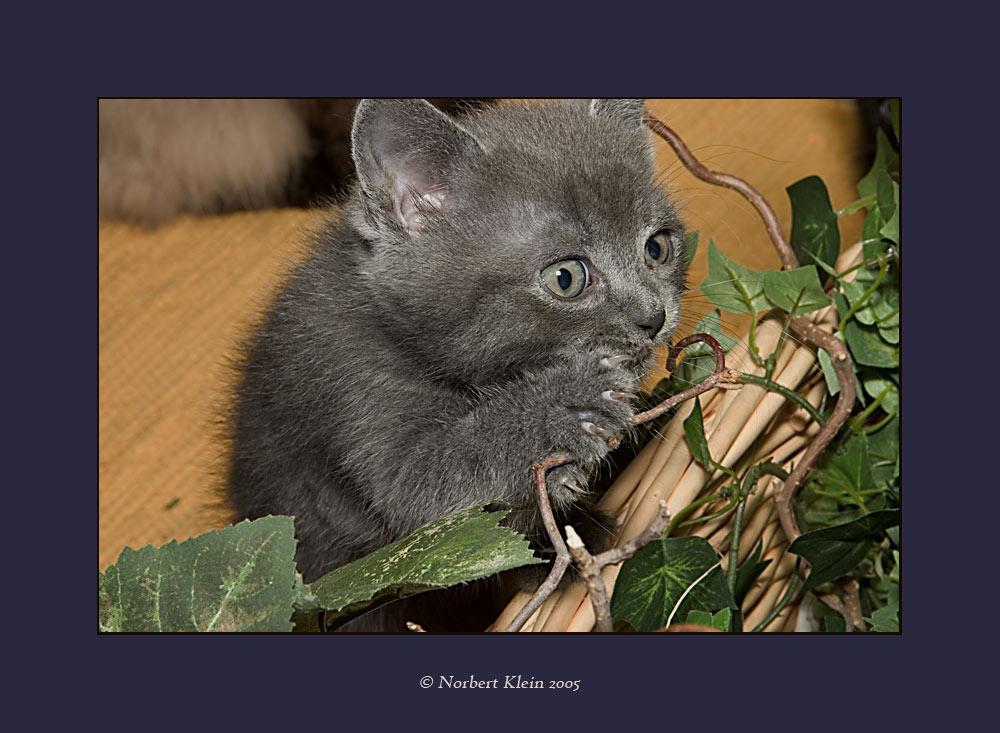 Manis Katzenbabys VI