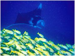 Manta mit Blaulinienschnapper