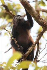 mantelbrüllaffe / mantled howler monkey / alouatta palliata (50 cm)