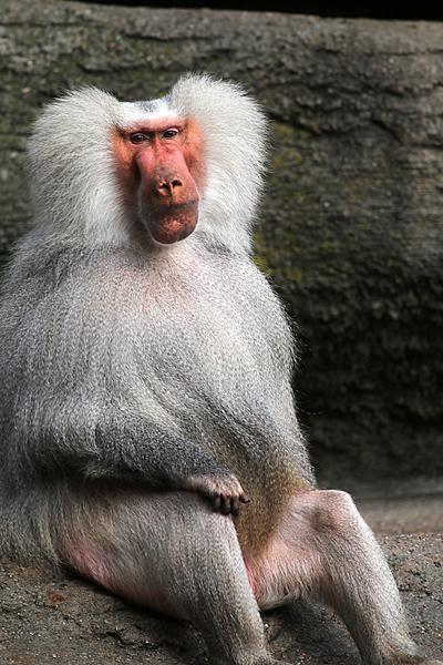 Mantelpavian - Männchen