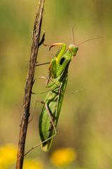 Mantis #1