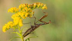 Mantis #3