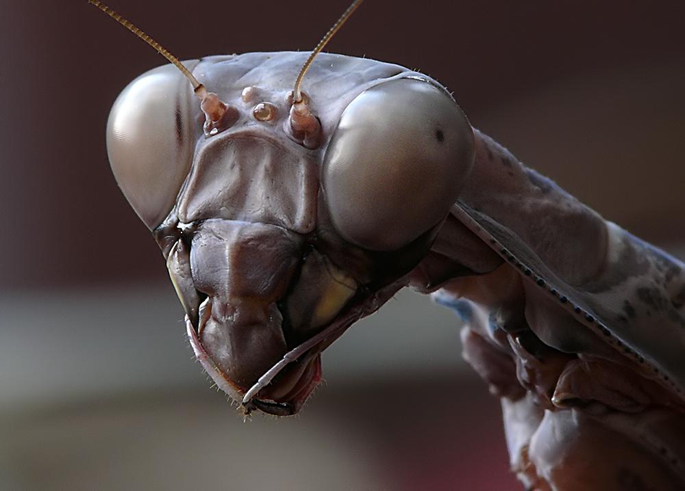 * Mantis *
