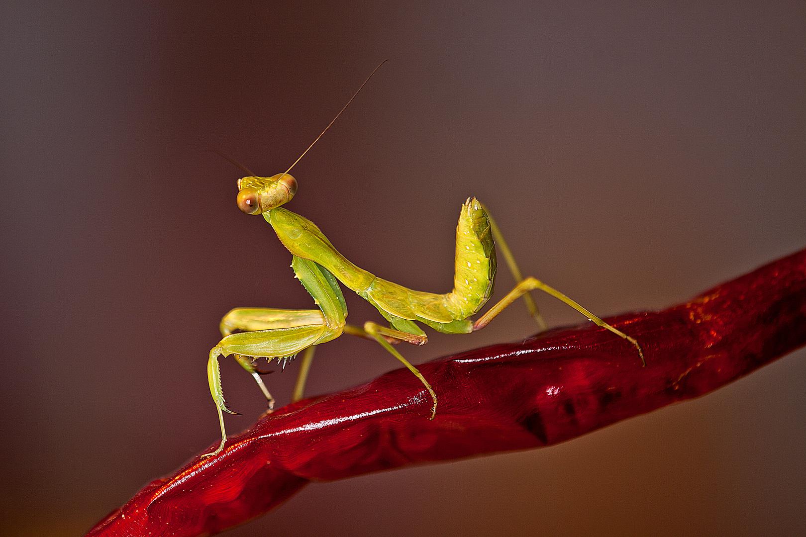 Mantis auf Chili