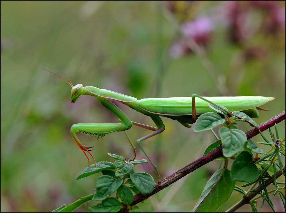 Mantis auf Origanum,