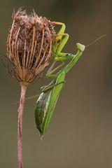 °° Mantis auf Wilder Möhre°°