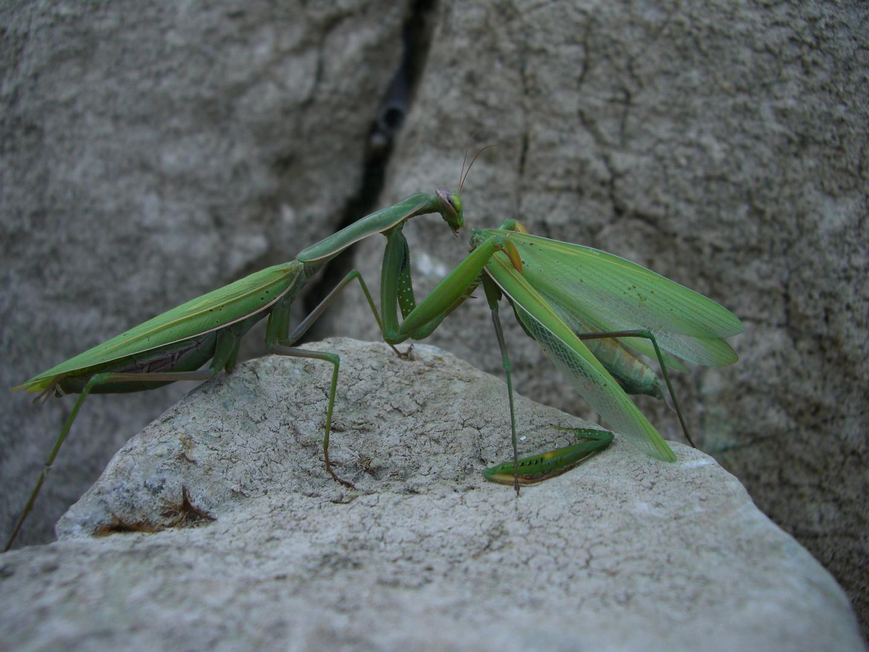 Mantis beim Fressen eines Artgenossen
