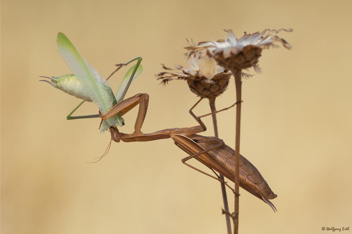 Mantis mit Beute