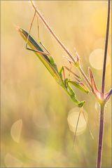 ~ Mantis religiosa (2) ~