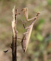 Mantis religiosa- europäische Gottesanbeterin