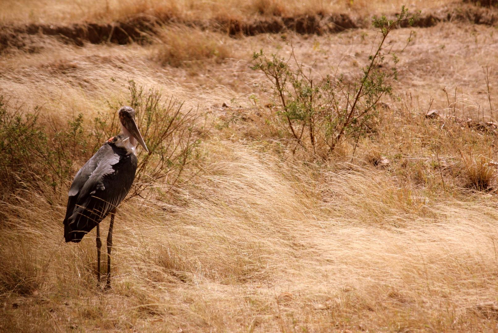 Marabu en Masai Mara